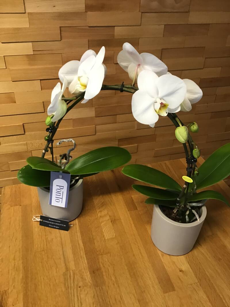 Double orchidee