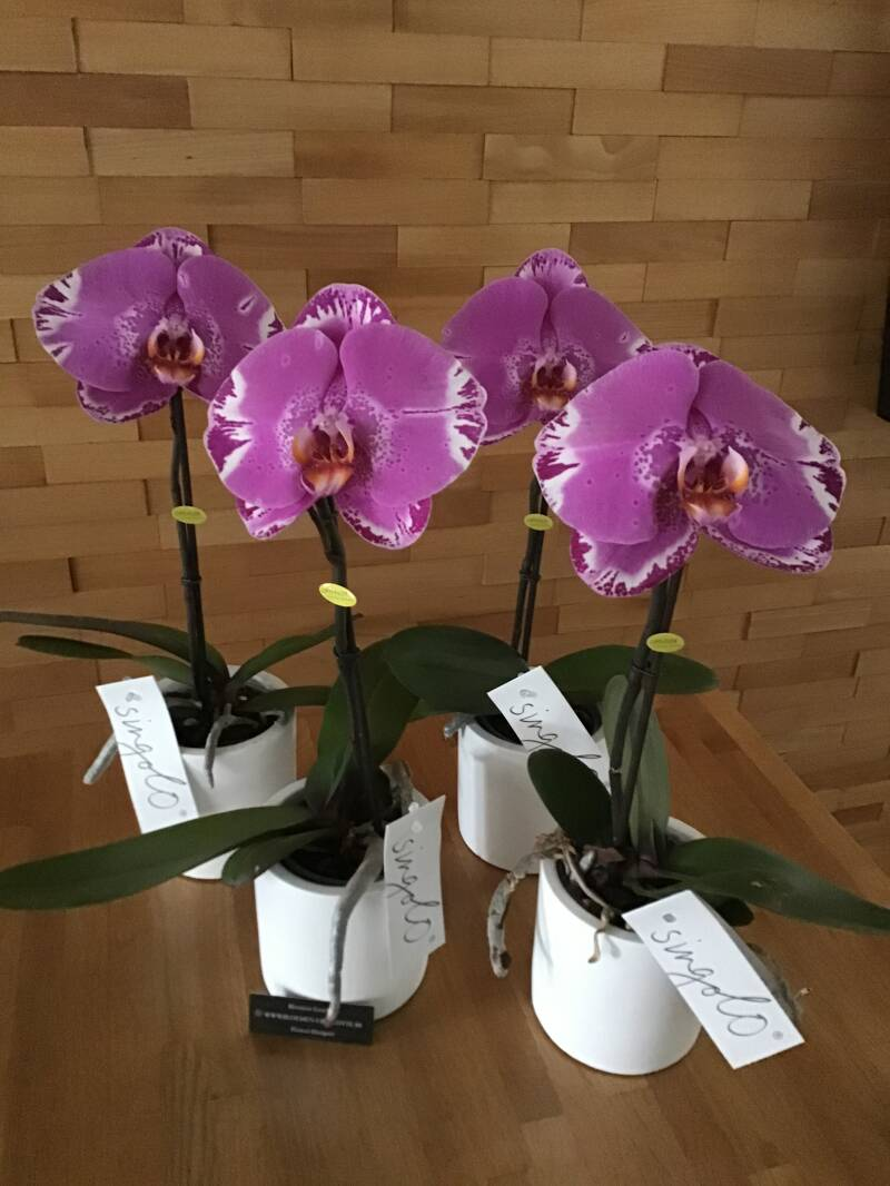 Paarse orchidee.