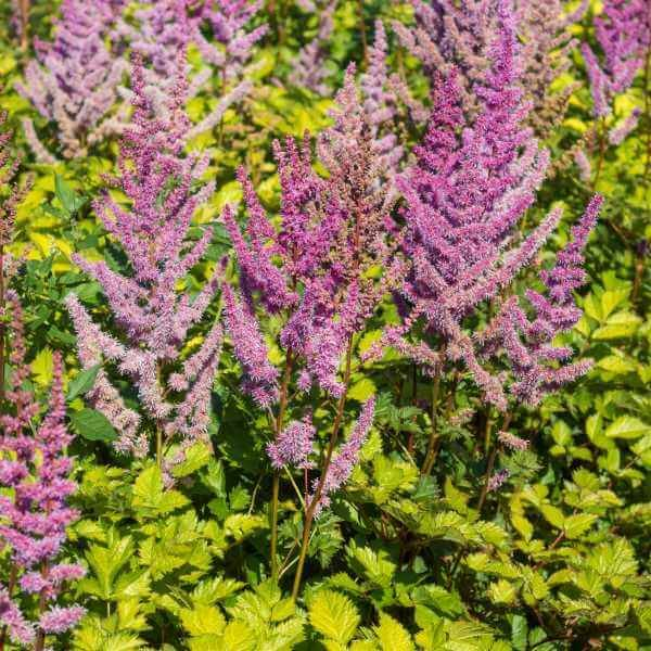 Astilbe 'Color Flash Lime'