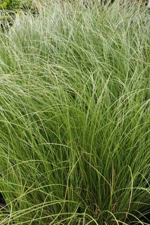 Carex flag. 'Kiwi'