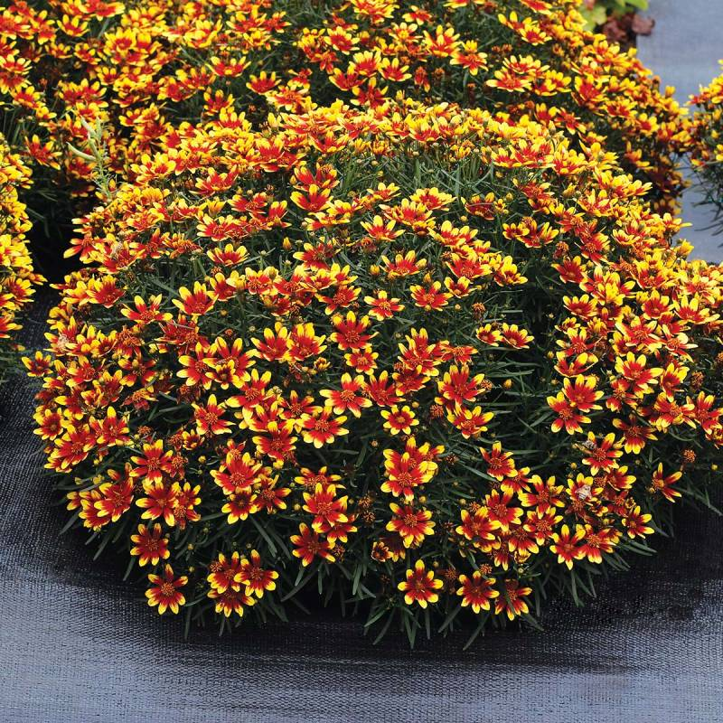 Coreopsis 'Honeybunch Red and Gold'