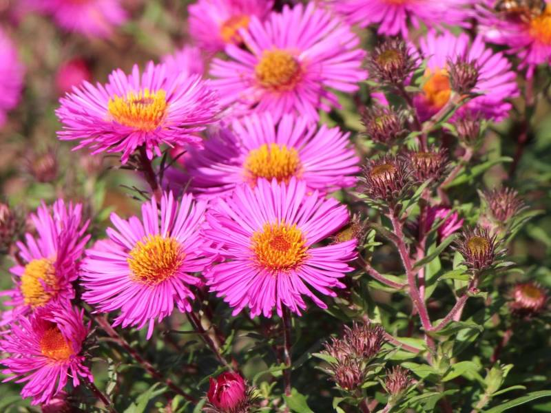 Aster novae-a 'And an P. Gerber'