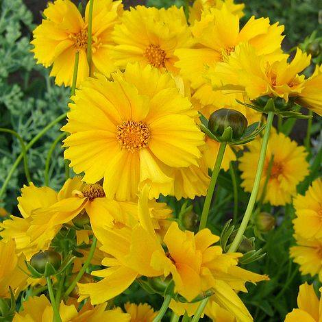 Coreopsis gr. 'Sunray'