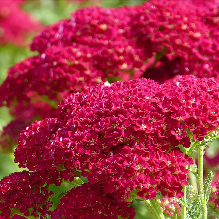 Achillea mill. 'New Vintage Red'