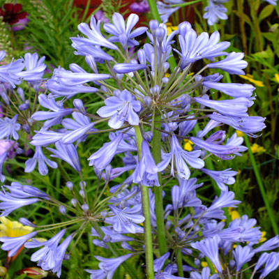 Agapanthus afr. 'Blue Umbrella'
