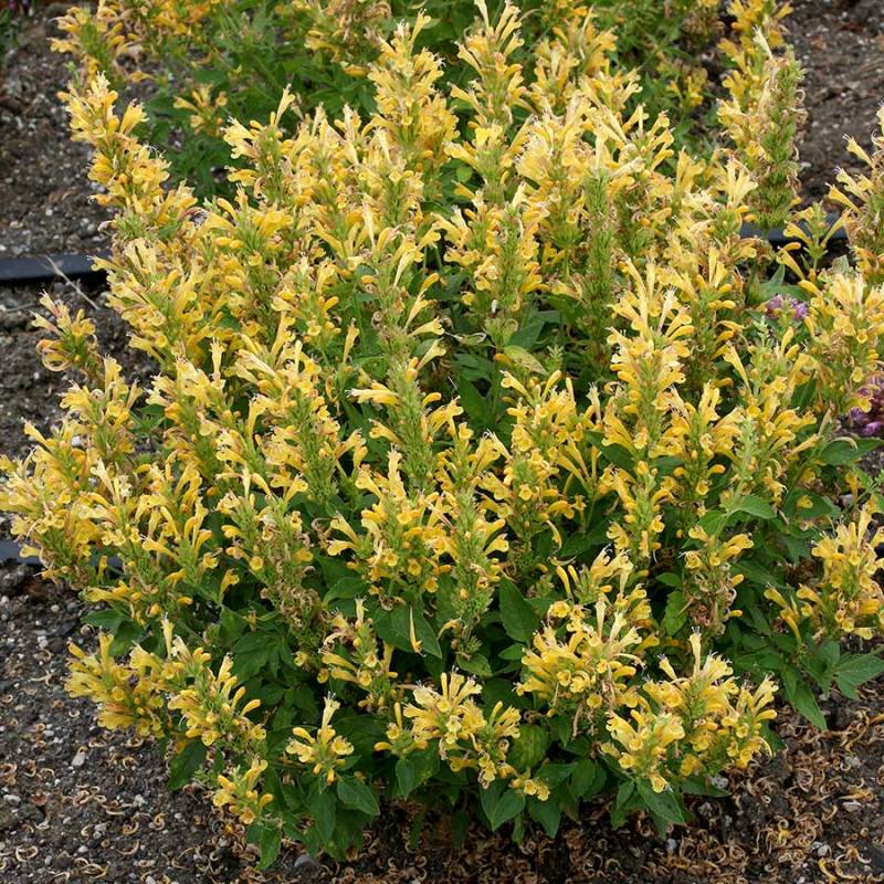 Agastache 'Poquito Butter Yellow'