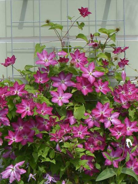 Clematis 'Viva Polonia'®