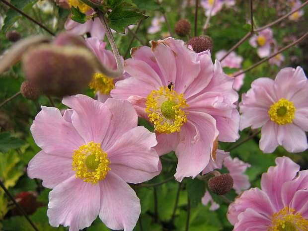 Anemone tom. 'Septemberglanz'
