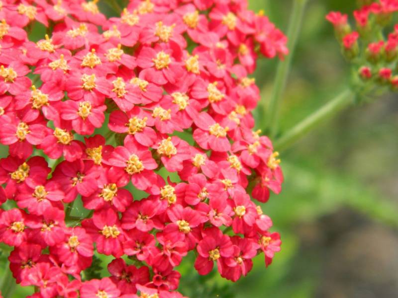 Achillea mill. 'Red Beauty'