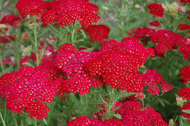 Achillea 'Pommegranate'