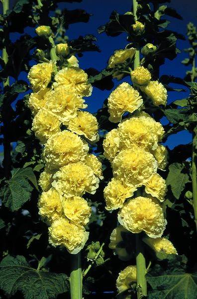 Alcea ros. 'Chat. D. Yellow'