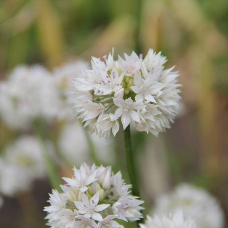 Allium ampl. 'Graceful Beauty'