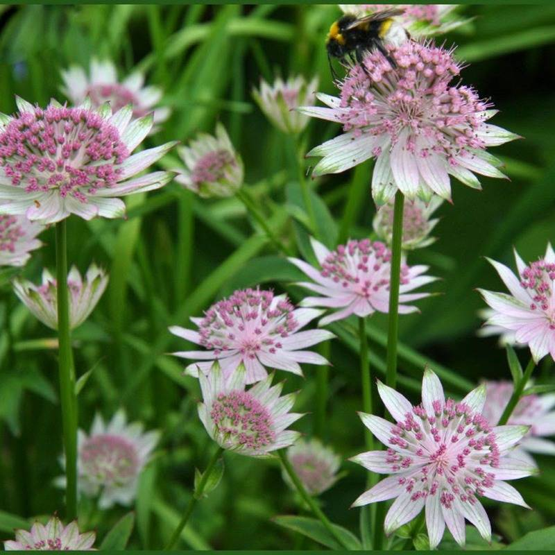 Astrantia maj. 'April Love'
