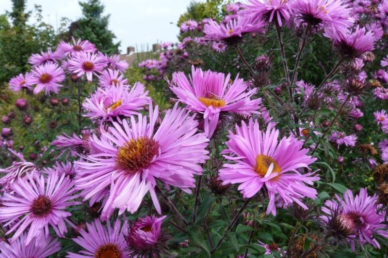 Aster novae-a. 'Barr's Pink'