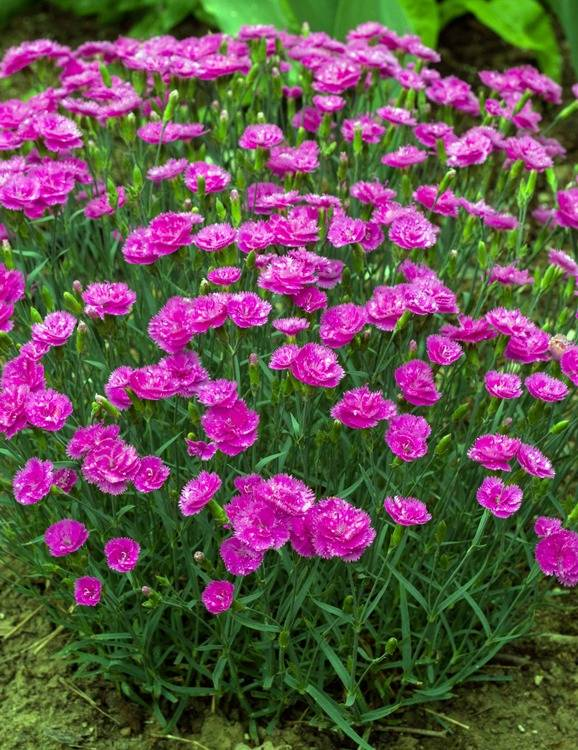 Dianthus 'Pretty Becky'
