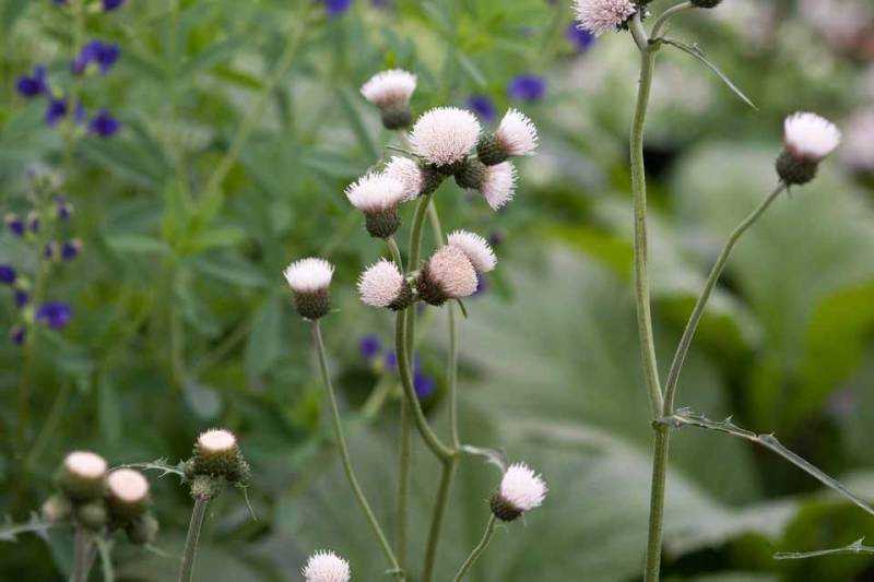 Cirsium riv. Frosted Magic'