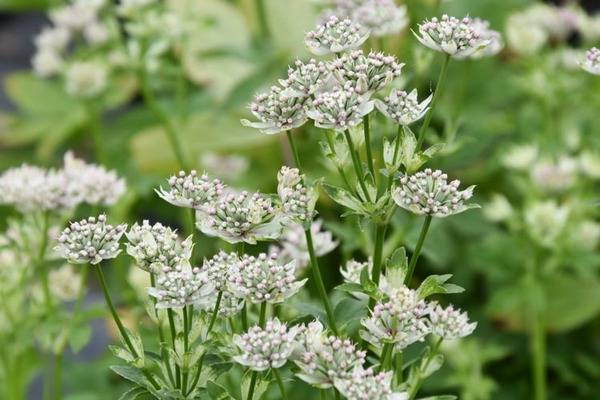 Astrantia maj. 'Star of Billion'