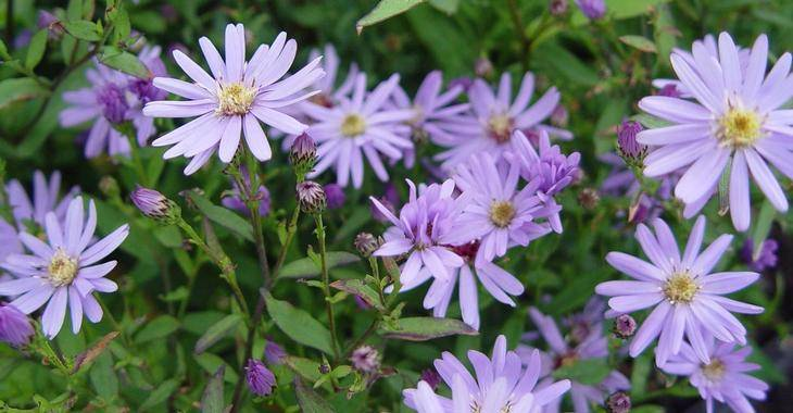 Aster Cord. 'Blue Heaven'