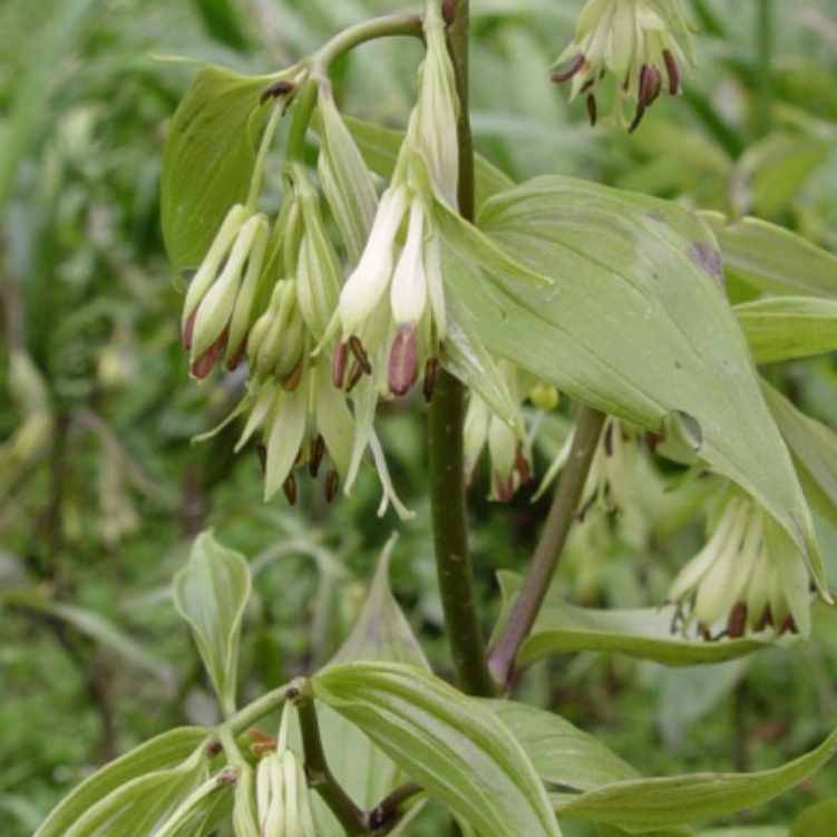 Disporum bodinerii