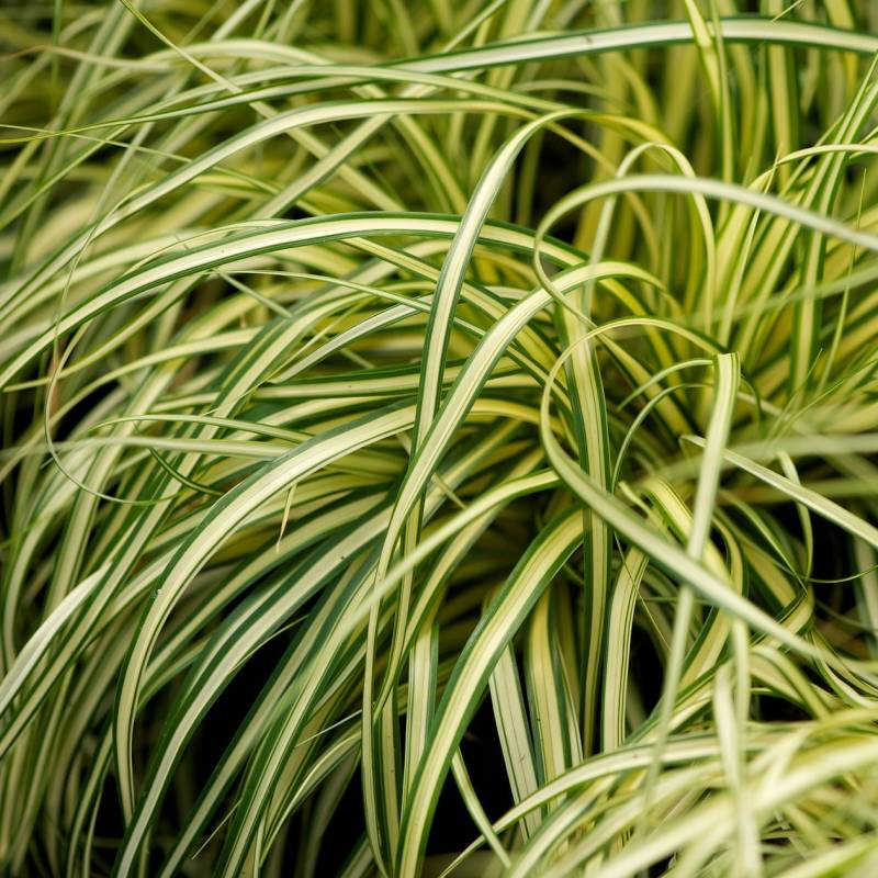 Carex osh. 'Evergold'