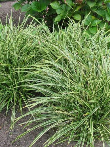 Carex mor. 'Ice Dance'
