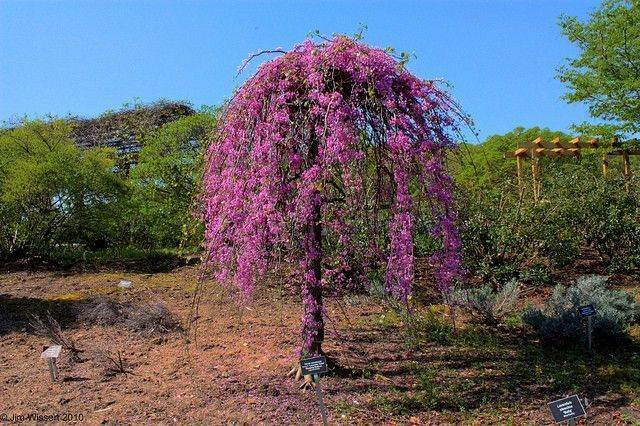 Cercis can. 'Cascading Hearts'