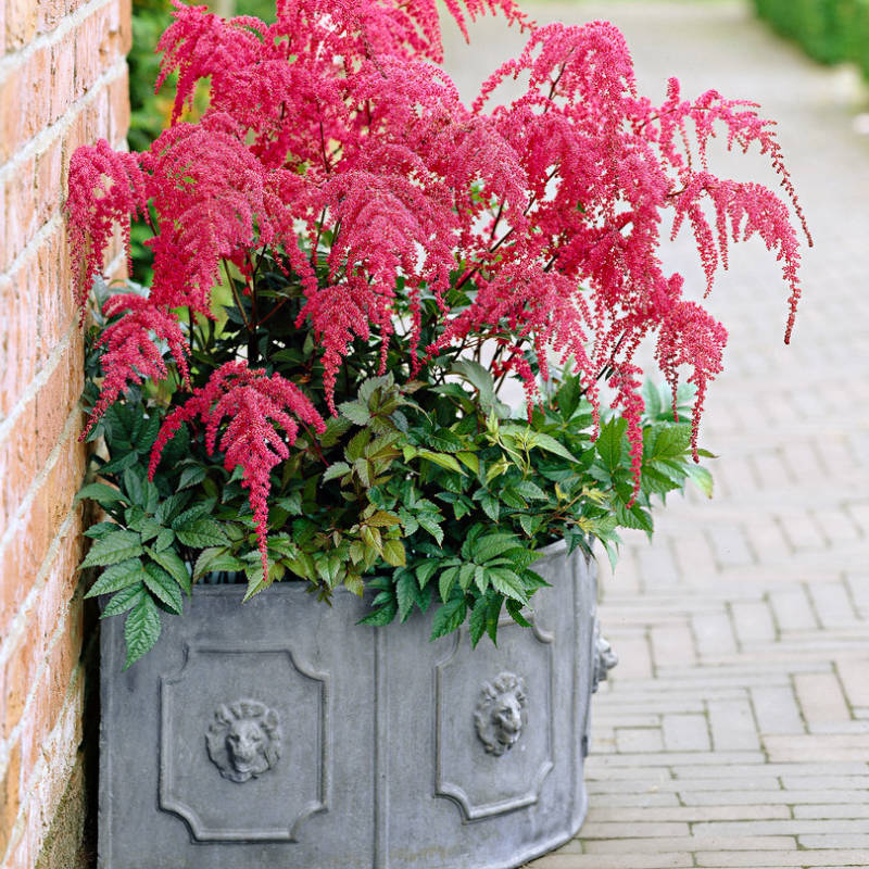 Astilbe (A) 'Red Charm'