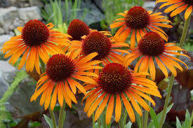 Echinacea p. 'Flame Thrower'