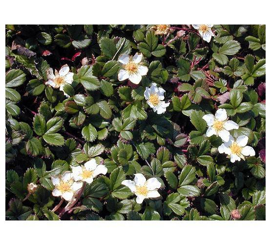 Fragaria chiloensis 'Chaval'