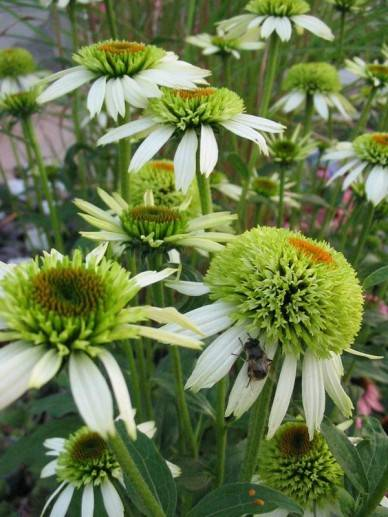 Echinacea p. 'Coconut Lime' (R)