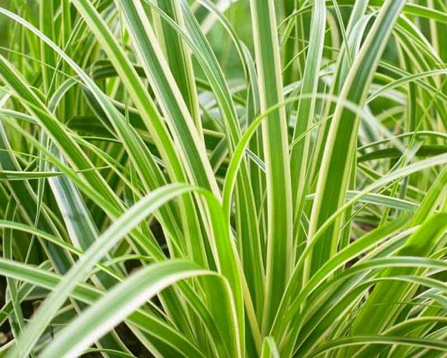 Carex osh. 'Evercream'