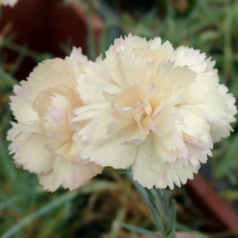 Dianthus (P) 'Devon Cream'