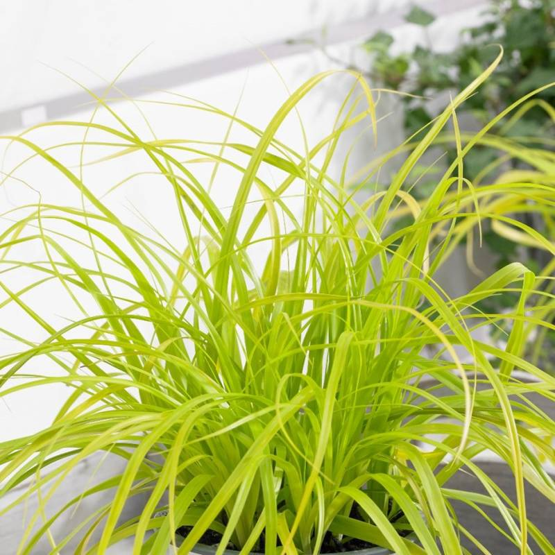 Carex osh. 'Everillo'