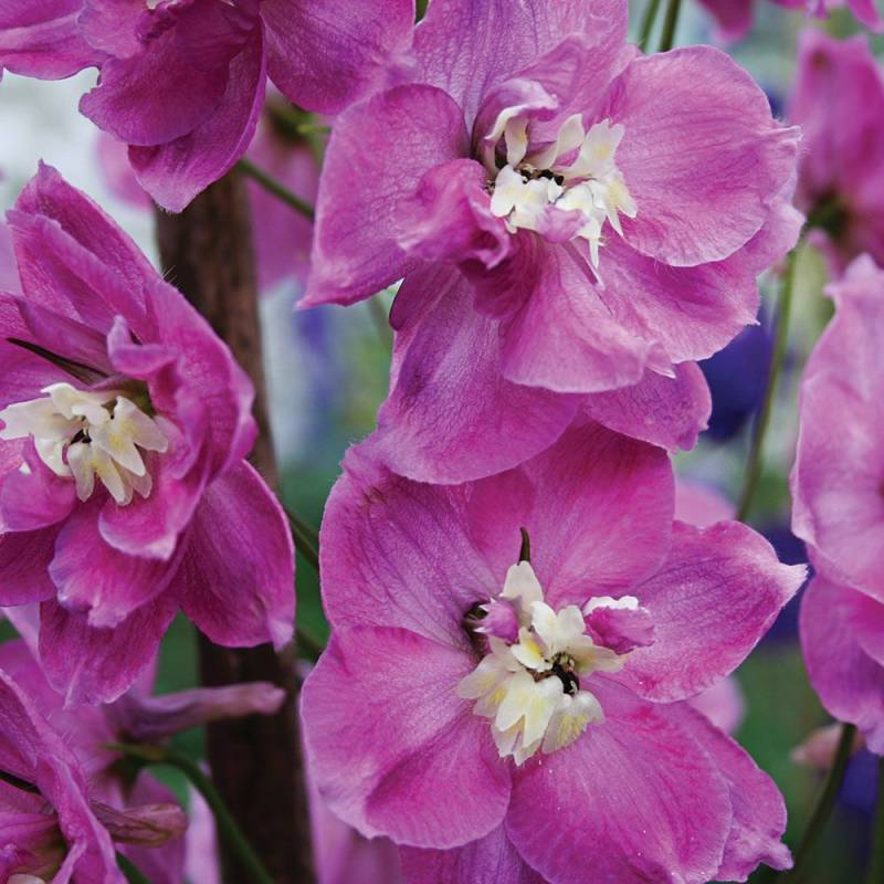 Delphinium 'Strawberry Fair'