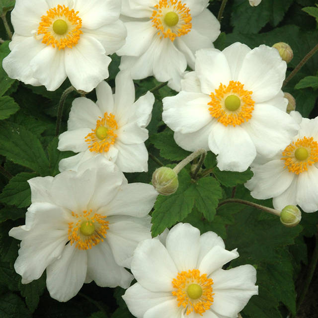Anemone hybr. 'Coupe d'Argent'