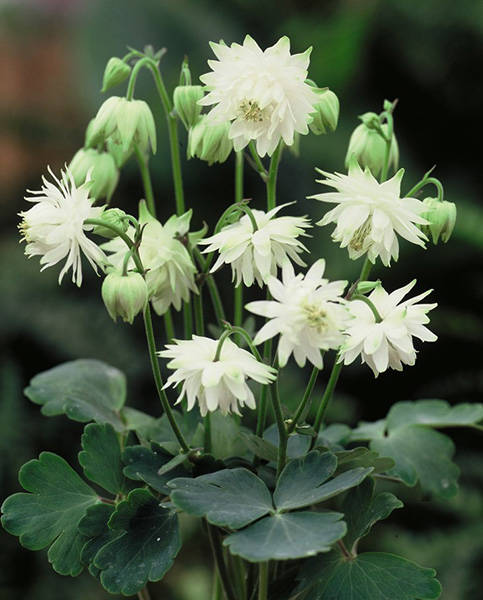 Aquilegia vulg. 'Green Apples'