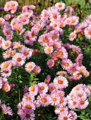 Aster novae-a. 'Harrington's Pink'