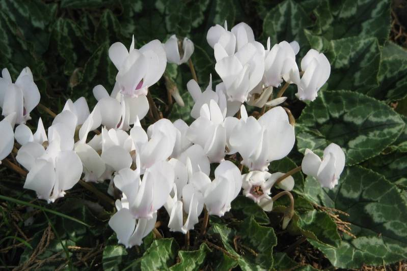 Cyclamen hed. 'Pure White'