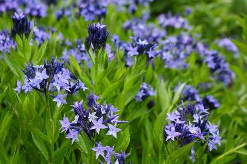 Amsonia tabern. 'Blue Ice'