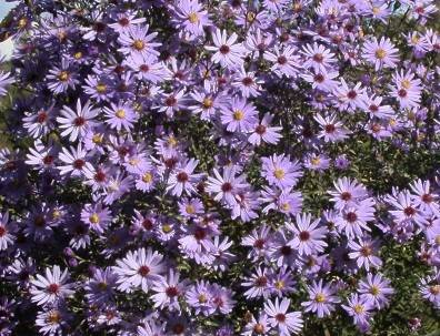 Aster cord. 'Ideal'