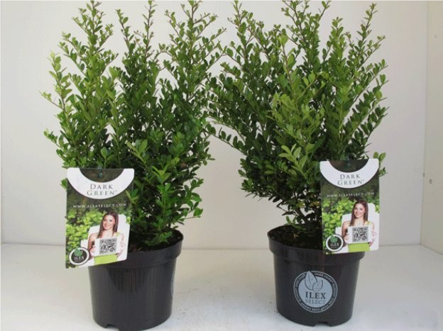 Ilex dark green touffe