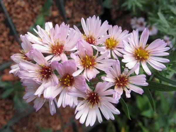Aster 'Kylie'