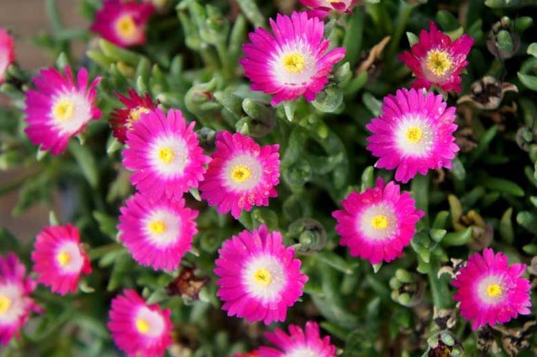 Delosperma 'Jew. of De. Amethyst'
