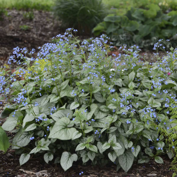 Brunnera macr. 'Looking Glass' (R)