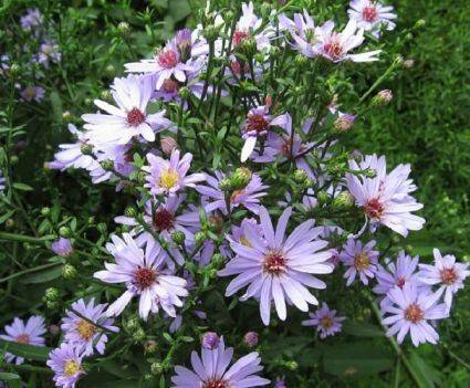 Aster lat. 'Lady in Black'