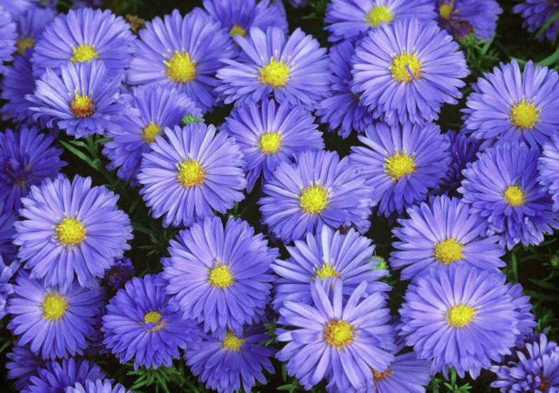 Aster (D) 'Lady in Blue' blauw