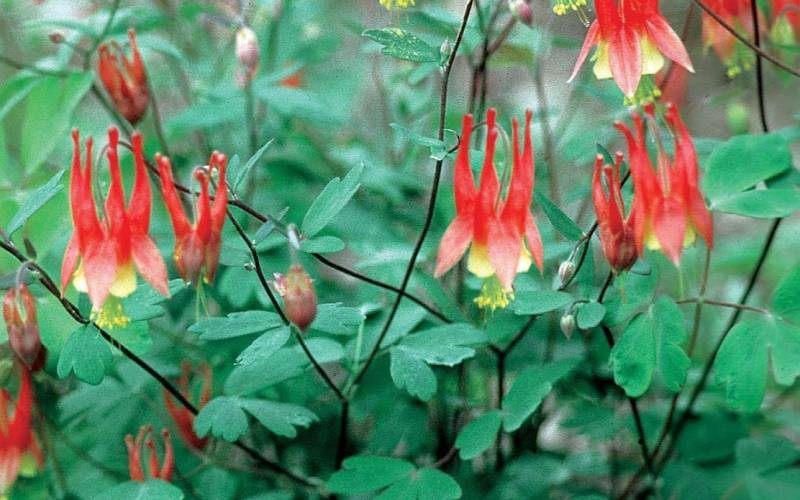 Aquilegia can. 'Little Lanterns'