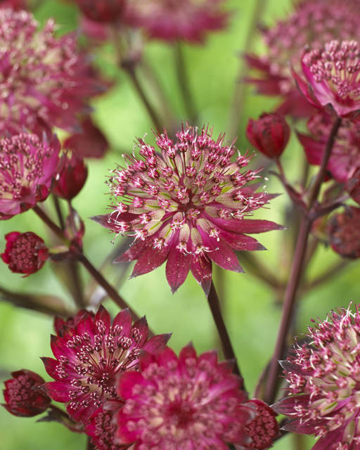 Astrantia maj. 'Star of Love'