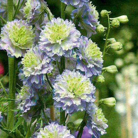Delphinium 'Moonlight'