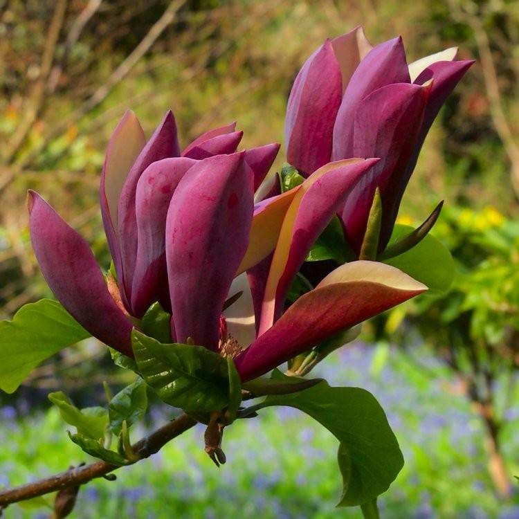 Magnolia 'Black Beauty'